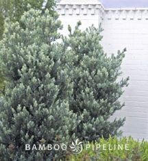 Bamboo Pipeline is the single source supply solution for landscape pros, delivering wholesale nursery plants and trees and a full range of other landscape materials directly to your job site – often within 24 hours. Podocarpus Hedge, Wholesale Nursery, Hillside Landscaping, Landscape Materials, Plant Nursery, Hedges, Garden Plants, Fence, Bamboo