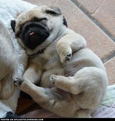 Wee Little Sleepy Pug Puppy