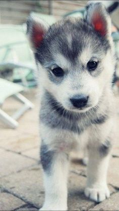 Pomskies--half Pomeranian, half Husky--are honestly the ideal dog. The face and tail of a Pomeranian, the coat and ears of a Husky, AND it grows to the perfect size