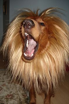 ...Erniedog would allow this to be put on his head :-)   ---Lion Mane Halloween Costume For Dog