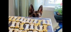 Learn about German Shepherd  oral health and also  delight in  lots of  gorgeous GSD  images