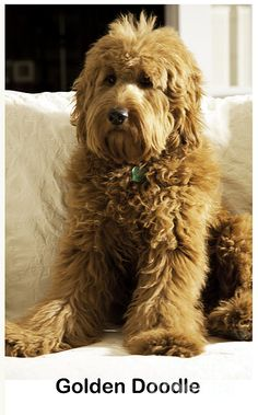 Nothing sweeter or cuter than a Golden Doodle especially if his name is Luke.