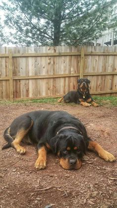 """Figure out even more info on """"Rottweiler puppies"""". Take a look at our site. Big Dogs, I Love Dogs, Cute Puppies, Cute Dogs, German Dog Breeds, Pet Breeds, Rottweiler Puppies, German Rottweiler, Mundo Animal"""