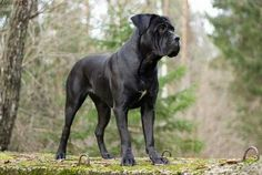 Black cane corso, hope my puppy grows up to look like this (keeping the natural ears!)