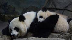 Bao Bao Cuddling with Mom   Flickr - Photo Sharing!