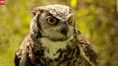 Owl named Spock, lives at a Duncan, British Columbia, conservation center.