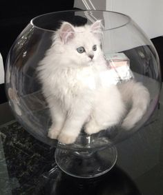 White cat in glass bowl