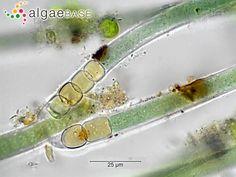 Algae base UK - Tolypothrix penicillata (C.Agardh) Thuret ex Bornet & Flahault