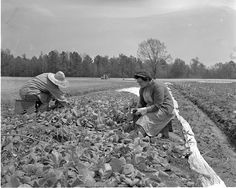 1958 photo of family pulling tobacco plants from bed getting ready to transplant in field.  Taken in eastern NC