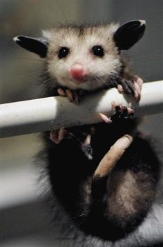 Hangin' in there  Possum Baby