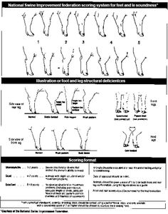 Factors that affect Feet and Leg Soundness - The Pig Site