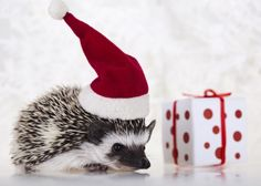 Find Hedgehog Christmas stock images in HD and millions of other royalty-free stock photos, illustrations and vectors in the Shutterstock collection. Hamster Wallpaper, Arrow Print, Cute Hedgehog, Cute Little Animals, Small Animals, Very Merry Christmas, Christmas Animals, Christmas Fashion, Cool Pets