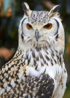 OWLS: As powerful as birds can be and still be birds! They are utterly supreme in the predatory skies. I could run off aspects and features, skills, this bird has that would astound most people!