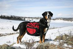 Greater Swiss Mountain Dog - Pack Hike | GSMDC
