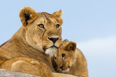 New Animal Documentary 2015 The Lion Family Most Beautiful Animals, Beautiful Cats, Lioness And Cubs, Baby Animals, Cute Animals, Tiger Artwork, Lion Family, The Lion Sleeps Tonight, Power Animal