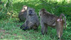 Rwanda baboons are very unique animals.http://www.primeugandasafaris.com