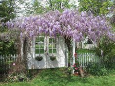 """This is my 20+ year old Wisteria.  I wait for it each spring.  When I look at it, """"it is well with my soul!"""""""