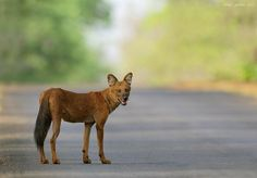 Indian Wild Dog by Vishal Jadhav http://500px.com/VishalJadhav1