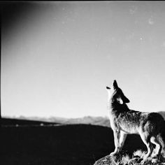 Coyote howling on hill on Pitchfork Ranch