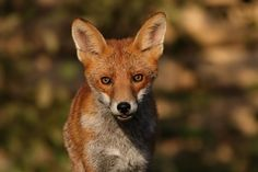 Red Fox | Everything is Permuted - Paul Cecil