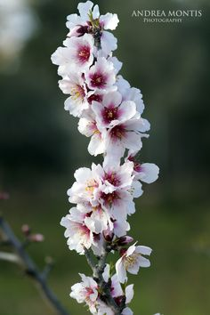 Flor de Almendro [almond flower] Almond Flower, Almond Blossom, Amazing Flowers, Beautiful Flowers, Blossom Tree Tattoo, Petal Pushers, Single Tree, Primroses, Outdoor Wedding Decorations