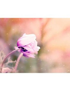 Free Image on Pixabay - Anemone, Flower, Violet-White Flowers Name In English, Couples Chrétiens, Beautiful Flowers Images, Anemone Flower, Flower Bouquets, Floral Flowers, Scripture Pictures, Nikon D7100, Flower Names