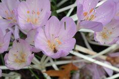 Colchicum autumnale, herfsttijloos, geen crocus, bloem zonder blad.
