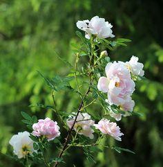 Rosa pimpinellifolia  'Juhannusmorsian'