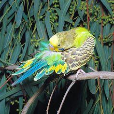 Rare Budgie Mutations | Rare Parakeet Colors Color parakeets