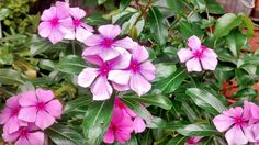 Vinca flowers em Itaipava