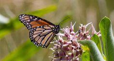 Monarchs in the conservation spotlight