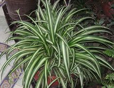 Spider Plant: this plant can remove up to 90 percent of the toxins in your indoor air. Top 10 NASA Approved Houseplants for Improving Indoor Air Quality Indoor Garden, Indoor Plants, Plantas Indoor, Water From Air, Chlorophytum, Pot Plante, Spider Plants, Office Plants, Indoor Air Quality