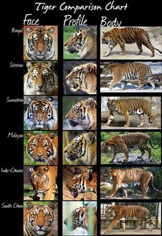 Tigers....HEATHER DEVERS....a self taught artist that specializes in drawing animals....known for her animal comparison charts