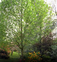 Tuliptree - Liriodendron tulipifera Fast-growing tree Bright green leaves that resemble tulip flowers Golden yellow fall color Greenish-yellow flowers with aromatic stems Grows to tall with a spread Zones 4 to 9 Shipping Height: - Fast Growing Trees, Growing Flowers, Tulips Flowers, Yellow Flowers, Arbor Day Foundation, Flying Flowers, Arbour Day, Trees And Shrubs, Flowering Trees