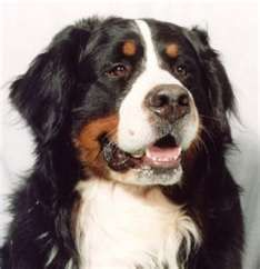 So pretty. My daughter has a Bernese, they are so sweet