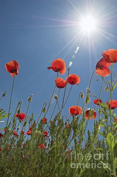 Poppies Photograph by Mihaela Ninic - Poppies Fine Art Prints and Posters for Sale