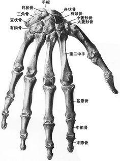 Dorsal Hand Skeleton by elizabethnixon on DeviantArt Anatomy Study, Anatomy Drawing, Anatomy Art, Anatomy Reference, Human Anatomy, Skeleton Muscles, Evolution Tattoo, Medical Drawings, Skeleton Drawings