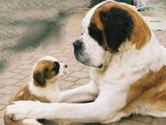 Saint Bernard Mom & One of Her Pups. Big Dogs, Cute Dogs, Dogs And Puppies, Doggies, Animals And Pets, Baby Animals, Cute Animals, San Bernardo Bebe, Le Plus Grand Chien