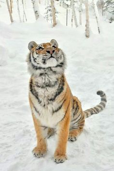 Tiger in the snow #BigCatFamily
