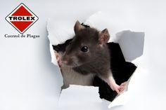 ¿Desea identificar a esos intrusos que invaden su cocina mientras usted no ve? Aquí hay una guía de las plagas más comunes en las cocinas: