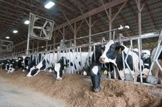 The Netherlands will spend 150 million Euros to turn cow poop into biogas // @inhabitat