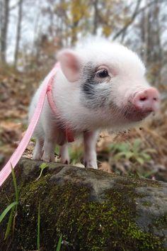 precious piggy