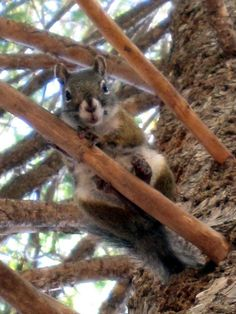 U.S. Fish & Wildlife Service: Endangered Species We are working with our partners to test a captive breeding program for the endangered Mount Graham Red Squirrel. Our biologists helped capture 6 wild...