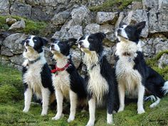 Cleverest Dogs! Border Collies