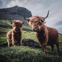 Cute Baby Cow, Baby Cows, Cute Cows, Cute Funny Animals, Cute Baby Animals, Farm Animals, Highland Cow Art, Highland Cattle, Galloway