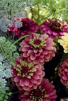 flowersgardenlove:  Zinnias Flowers Garden Love