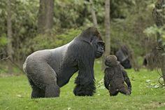 Albert Valentino / Gorilla_Zoo