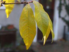 Autumn Garden, Peach, Leaves, Peaches