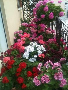 Geraniums & Petunias on the balcony. Egg Shell Planters, Geranium Plant, Home Vegetable Garden, Blooming Plants, Container Flowers, Garden Pests, Outdoor Plants, Small Gardens, Shade Garden