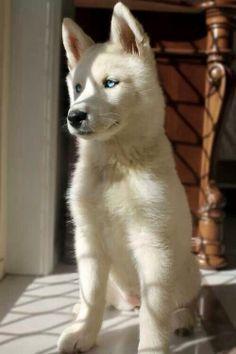 Handsome husky pup